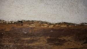 Holzfraß durch Zementputz 1